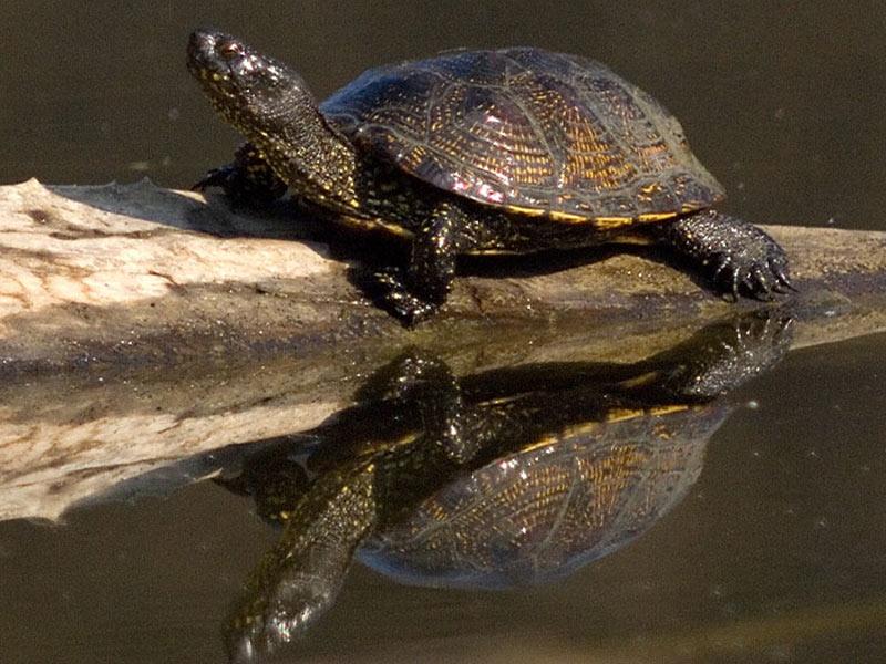 Wildtierpark Bad Mergentheim - Sumpfschildkröte