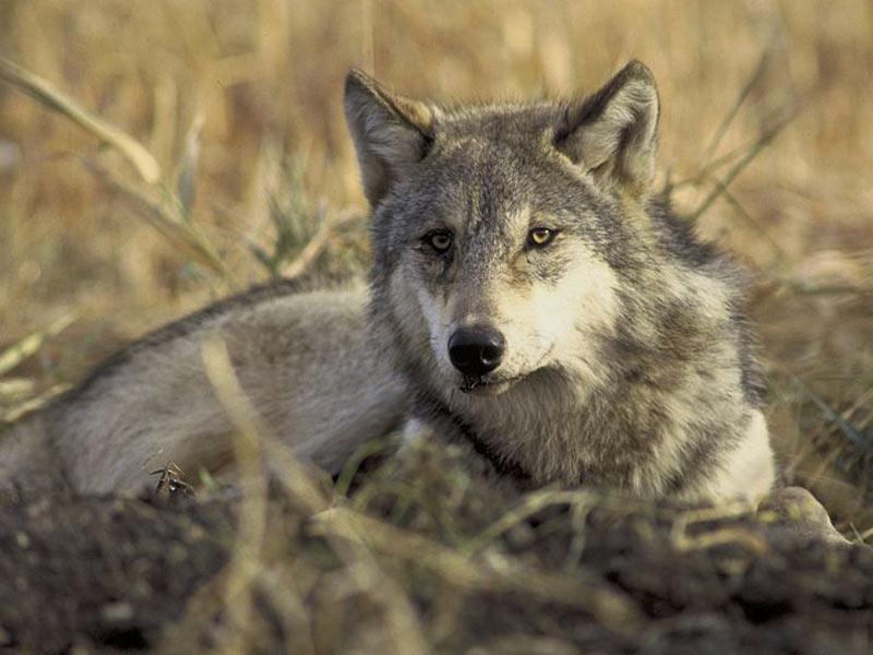 Wildlife park Bad Mergentheim - Wolves