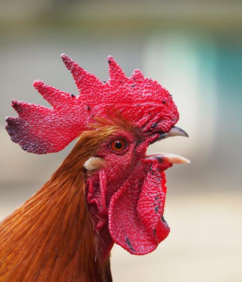 Chickens - Ferienhof Henn