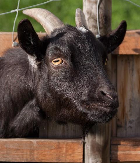Goats - Ferienhof Henn